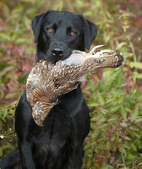 Dave's Gun Dog Training Programs